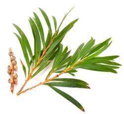 E-naturalne hydrolat z kwiatów Drzewka Herbacianego 100g